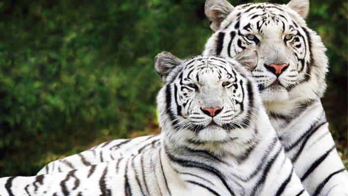 自然传奇狮子吃老虎