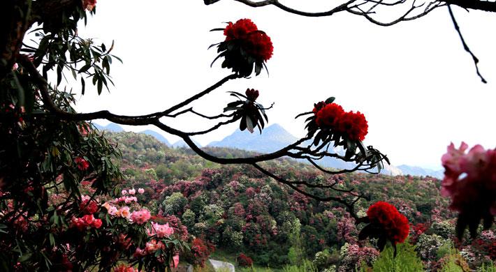 【贵州百里杜鹃风景区】毕节贵州百里杜鹃风景区门票
