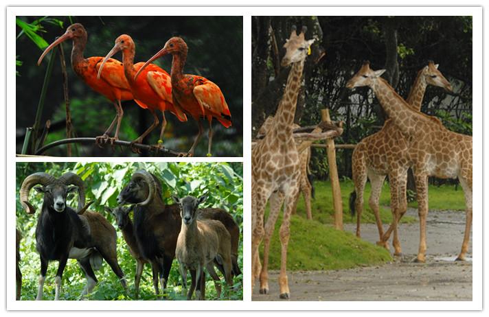 深圳野生动物园是中国第一家放养式的野生动物园