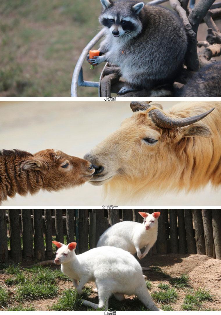 威海神雕山野生动物园在园区里还散养着袋鼠,浣熊,羊驼,懒猴,豪猪等